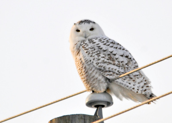 "<div class=""jaDesc""> <h4> Female Snowy Owl Looking at Me - February 7, 2014</h4> <p> This is the perch she was on when I first saw her.  Not the most photogenic location.  The sun was still well above the horizon at this point so her spots look black instead of brown.</p> </div>"