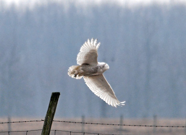 "<div class=""jaDesc""> <h4> Female Snowy Taking Off - Amherst Island - February 1, 2012</h4> <p> We watched this female Snowy Owl as she was perched on a fence post for about 10 minutes.  She then took off to fly to another post much farther away.</p> </div>"