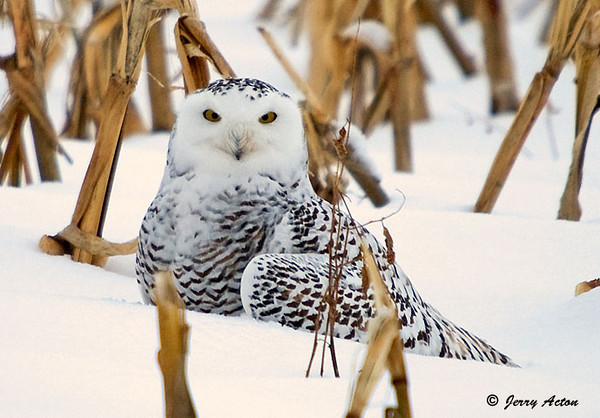 """<div class=""""jaDesc""""> <h4> Female Snowy Owl Guarding Her Meal - November 27, 2008</h4> <p> This female Snowy Owl was sitting on her rabbit breakfast.  I did not know this until she took off with it in her talons.</p> </div>"""