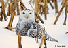 "<div class=""jaDesc""> <h4> Female Snowy Owl Guarding Her Meal - November 27, 2008</h4> <p> This female Snowy Owl was sitting on her rabbit breakfast.  I did not know this until she took off with it in her talons.</p> </div>"