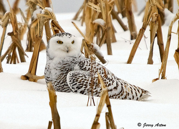 """<div class=""""jaDesc""""> <h4> Female Snowy Owl Sitting on Rabbit Meal in Snow - November 27, 2008</h4> <p> Here she is resting on top of her catch.  She kept it well hidden in the snow underneath her as she looked around calmly.  She let me get within about 100 feet of her.</p> </div>"""