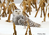 "<div class=""jaDesc""> <h4> Female Snowy Owl Sitting on Rabbit Meal in Snow - November 27, 2008</h4> <p> Here she is resting on top of her catch.  She kept it well hidden in the snow underneath her as she looked around calmly.  She let me get within about 100 feet of her.</p> </div>"