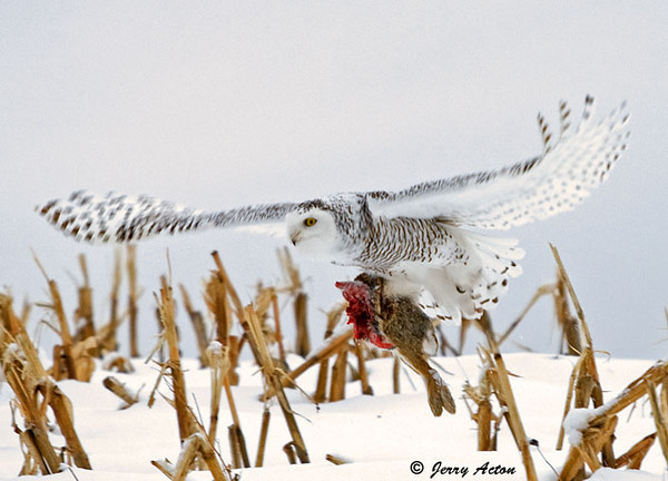 """<div class=""""jaDesc""""> <h4> Female Snowy Owl In-flight with Rabbit - November 27, 2008</h4> <p> When she finally took off after about 10 minutes, she flew off across the cornfield with the rest of her rabbit meal in her talons.  Her 5 foot wingspan was quite a beautiful sight.</p> </div>"""