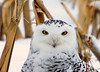 "<div class=""jaDesc""> <h4> Female Snowy Owl - Eye Ball to Eye Ball - November 27, 2008</h4> <p> It was fun connecting with this female Snowy Owl through my telephoto lens.  She did not back down from a direct stare.</p> </div>"