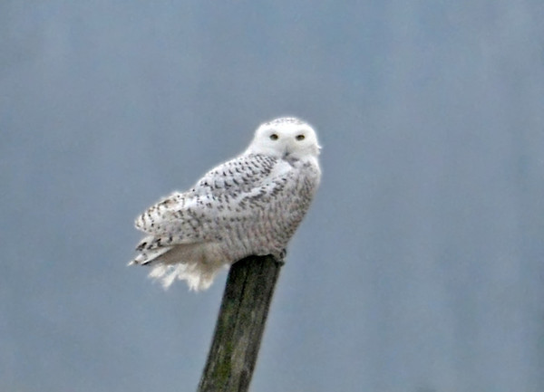 "<div class=""jaDesc""> <h4> Female Snowy Owl on Fence Post - Amherst Island - February 1, 2012</h4> <p> We saw 7 different Snowy Owls (3 males and 4 females) during our 3 days on Amherst Island.  Unfortunately all of them were at least 100 yards away. They were spread out all over the 4 x 12 mile island.  There is no snow on the ground with the mild winter, so the rodent hunting is excellent across the entire island which is mostly cattle grazing land. (Photo taken February 2012)</p> </div>"