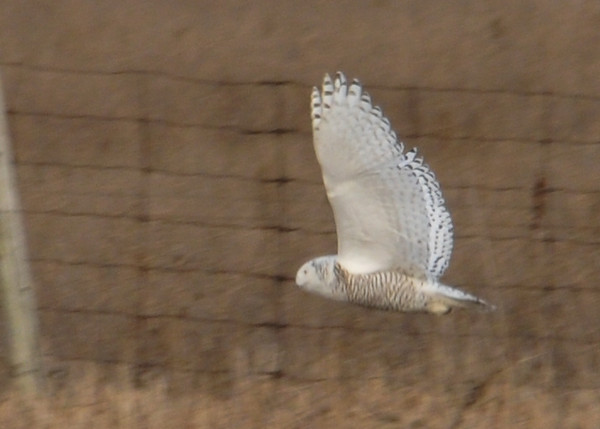 "<div class=""jaDesc""> <h4> Female Snowy Owl Flying Over Field - Amherst Island - January 31, 2012</h4> <p> She left her perch post and flew low to the ground until selecting a new perch post.</p> </div>"