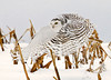"<div class=""jaDesc""> <h4> Female Snowy Owl In-flight - Wings Forward - November 27, 2008</h4> <p> Since there have been recent sightings of Snowy Owls in New York, I am posting some additional Snowy Owl shots I took 3 years ago . I would love to have another opportunity to photography one of these beauties this year.  Photo taken Thanksgiving morning.</p> </div>"