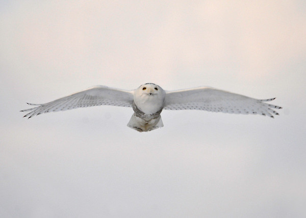 """<div class=""""jaDesc""""> <h4> Female Snowy Soaring - February 7, 2014</h4> <p> This female Snowy Owl was showing off her beautiful profile for me as she soared toward me in a light breeze.</p> </div>"""