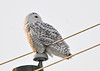 "<div class=""jaDesc""> <h4> Female Snowy Owl Looking Behind - February 7, 2014</h4> <p> While she was on this perch, she would rotate her head 90 degrees at a time through a complete 360 degrees.  If there were any rodents moving on the snow, she was likely to see them.  Notice how flat her face is in front.</p> </div>"