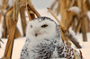 "<div class=""jaDesc""> <h4> Female Snowy Owl Resting on Her Catch - November 27, 2008 </h4> <p> I was able to get photos of this female Snowy Owl for about 5 minutes as she calmly sat on her rabbit breakfast.  The only thing that moved was her head.</p> </div>"
