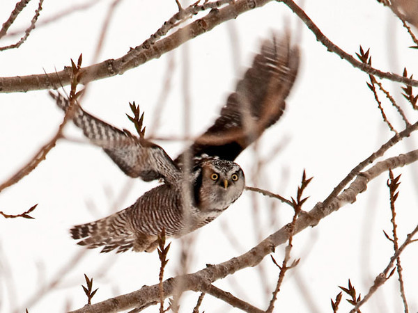 """<div class=""""jaDesc""""> <h4> Northern Hawk Owl in Flight - Amherst Island - February 8, 2011</h4> <p> I got lucky and was able to track the Northern Hawk Owl as he flew through the branches on take-off.  He definitely had his eye on me as he went by.</p> </div>"""