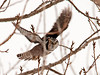 "<div class=""jaDesc""> <h4> Northern Hawk Owl in Flight - Amherst Island - February 8, 2011</h4> <p> I got lucky and was able to track the Northern Hawk Owl as he flew through the branches on take-off.  He definitely had his eye on me as he went by.</p> </div>"