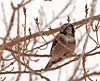 "<div class=""jaDesc""> <h4> Northern Hawk Owl Perched in Tree - February 8, 2011</h4> <p> I took a 3 day trip with a birding friend to Amherst Island, Ontario.  We got a tip from the locals that there was a Hawk Owl on the far side of the island, first one in 10 years.  His main perch was on a utility wire next to the top of a pole, but at one point he perched in a tree behind a resident's house.</p> </div>"