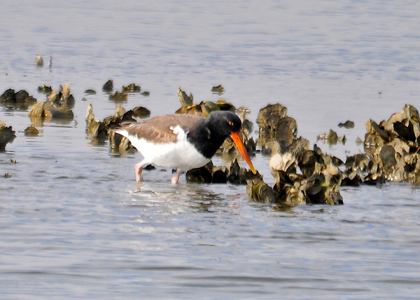 "<div class=""jaDesc""> <h4> Oystercatcher Foraging - December 16, 2014 - Video Attached</h4> <p> With that large bill they can easily poke in among the shell debris to find food. </p>  </div> <center> <a href=""http://www.youtube.com/watch?v=aef3u64LxXk"" style=""color: #0AC216"" class=""lightbox""><strong> Play Video</strong></a> </center>"