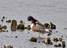 "<div class=""jaDesc""> <h4> Oystercatcher Grooming - December 16, 2014</h4> <p> This oystercatcher was taking a break from foraging to do some grooming.   Chincoteague Island.</p> </div>"