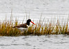 "<div class=""jaDesc""> <h4> Oystercatcher Hunting for Food #1 - November 7, 2013</h4> <p> This Oystercatcher was using his heavy 6 inch beak to dig for oysters along a spit of land on Chincoteague Island.  It was just by luck that I noticed him at a distance. </p> </div>"