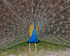 "<div class=""jaDesc""> <h4> Peacock Front View - May 21, 2012</h4> <p> This Peacock does his spectacular display even though there is no Peahen around to appreciate it. Now I understand where the phrase &quot;proud as a Peacock&quot; comes from.</p> </div>"