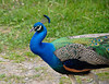 "<div class=""jaDesc""> <h4> Peacock Side View - May 21, 2010 </h4> <p> I visited a farm in the country where they have a Peacock. He was displaying for me very nicely and let me get in pretty close as he strutted around the farm yard.</p> </div>"