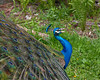 "<div class=""jaDesc""> <h4> Peacock Calling - May 21, 2010 </h4> <p> This Peacock would bellow out his call about every 5 minutes as he was strutting around the barnyard.</p> </div>"