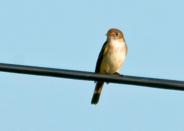 """<div class=""""jaDesc""""> <h4> Peewee - Front View - July 16 2013</h4> <p> This Peewee flew from a nearby bush and landed on a utility wire facing into the sun.  He flew off periodically to catch a bug and return to his perch on the wire.</p> </div>"""