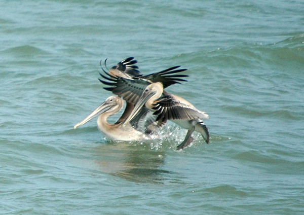 """<div class=""""jaDesc""""> <h4> Brown Pelican Pair Landing - August 15, 2006 </h4> <p>At the northern entrance to the bay bridge heading into Virginia Beach, we stopped to observe the Brown Pelicans flying out on the bay.  This pair was just landing for a short break.</p> </div>"""