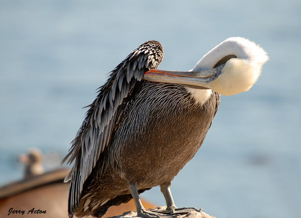 "<div class=""jaDesc""> <h4> Brown Pelican Grooming Under Wing - November 3, 2009 </h4> <p> This Brown Pelican was a very precise groomer. She got all the little hidden spots under her wings.  Photo was taken Monterey Bay, CA.</p> </div>"