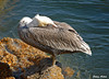 "<div class=""jaDesc""> <h4> Brown Pelican Dozing - November 3, 2009 </h4> <p> Each Brown Pelican that was napping seemed to have their favorite beak position.  This gal preferred to tuck hers along her back.</p> </div>"