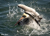 "<div class=""jaDesc""> <h4> Brown Pelican Bathing - November 3, 2009 </h4> <p>This Brown Pelican decided to take a bath. She created a big splash around herself by flapping her wings rapidly down into the water.</p> </div>"