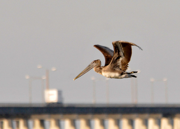 "<div class=""jaDesc""> <h4> Brown Pelican In-flight - November 9, 2013 </h4> <p> A Brown Pelican flew by near the bay bridge in Virginia Beach, VA.</p> </div>"