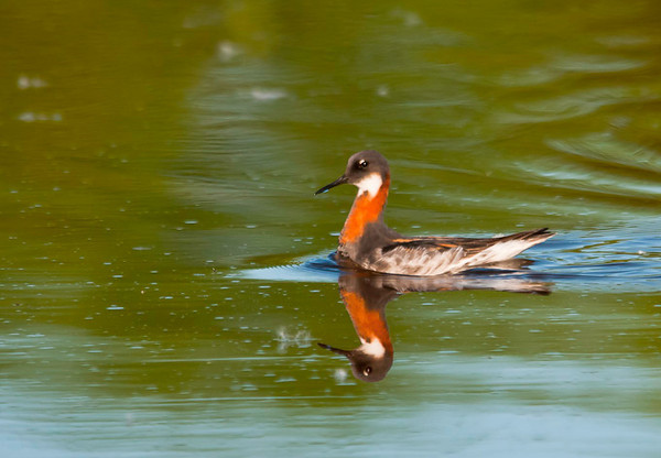 """<div class=""""jaDesc""""> <h4> Female Red-necked Phalarope - Getting Close - May 24, 2012 </h4> <p> After getting a number of photos of this female Red-necked Phalarope while positioned well back from the pond, I decided to move in to the edge of the pond to see how close she would come.  I was amazed when she approached within 15 feet of me without hesitation.  As she moved through the water, she would dart right, then left grabbing bugs floating on the surface.</p> </div>"""
