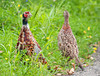 "<div class=""jaDesc""> <h4>Juvenile Ring-necked Pheasants - September 2, 2011</h4> <p> I was surprised to see 8 juvenile Ring-necked Pheasants grazing in the grass beside the road at 6:15 this morning. I drove past them as they moved into the brush and stopped my truck to see if they would come back out. They were in constant motion as they came back out to see what I was up to. There was no sign of the adults.</p> </div>"