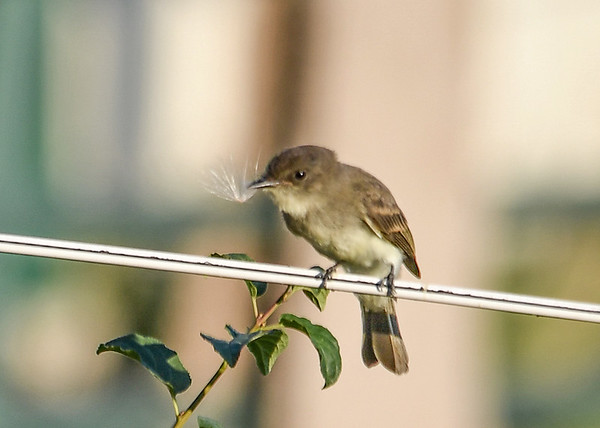"<div class=""jaDesc""> <h4>Phoebe Catches Dandelion Seed - July 24, 2016</h4> <p>I think this Phoebe might be a juvenile.  After catching a dandelion seed, he was shaking it and wiping it against the fence wire like he would after catching a moth.</p> </div>"