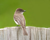 "<div class=""jaDesc""> <h4>Male Phoebe Waiting Near Nest - May 10, 2009 </h4> <p> The male Phoebe waits outside our garage on a wooden gate while mom is sitting on the eggs inside the garage.  Early every morning he will call to her: ""phoebe, phoebe, phoebe"" for about 10 minutes.</p> </div> </br> <center>   </center>"