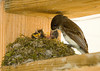 "<div class=""jaDesc""> <h4>Phoebe Feeding Chicks - May 29, 2008</h4> <p> The female Phoebe sticks her beak all the way down the chicks throat when feeding them.  Sometimes she pulls the mealworm back out to encourage them to grab at it.</p> </div>"