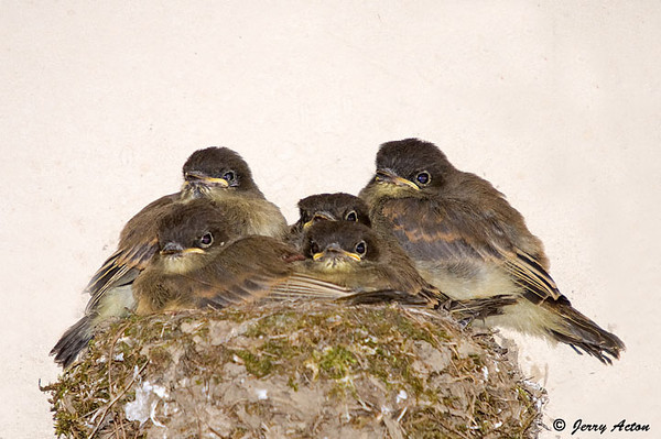"<div class=""jaDesc""> <h4>Phoebe Nest - Last Portrait of Chicks  - July 12, 2009 - Video Attached</h4> <p> The second clutch of phoebe chicks fledged today.  I was lucky enough to anticipate their timing and captured some video of the nest departure and initial perching in our garage.  The entire event took about 20 minutes before they had all left the garage.  Mom and dad were chirping in approval the whole time.</p> </div> </br> <center> <a href=""http://www.youtube.com/watch?v=XaIaTGpgNH8  "" class=""lightbox""><img src=""http://d577165.u292.s-gohost.net/images/stories/video_thumb.jpg"" alt=""""/></a> </center>"