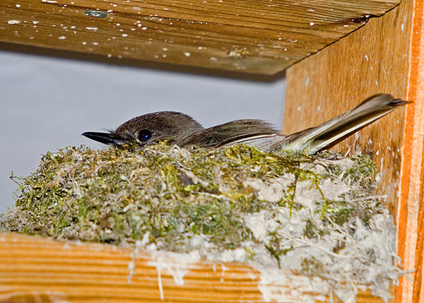 """<div class=""""jaDesc""""> <h4>Phoebe Back on Nest - May 7, 2008</h4> <p> Here is a shot of the female Phoebe back on the nest.  She takes a break about every 20 minutes to get some bugs and periodically to groom.  This morning I saw her nudging the eggs to turn them over so they get warmed on all sides.</p> </div>"""