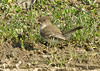 "<div class=""jaDesc""> <h4>Female Phoebe on a Bug Break  - April 18, 2009</h4> <p> The female Phoebe leaves the nest periodically to get a bite to eat.</p> </div>"
