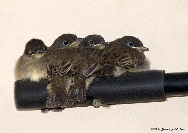 """<div class=""""jaDesc""""> <h4>Juvenile Phoebe Line-up - July 21, 2007 </h4> <p>These newly fledged Phoebes had only been out of the nest for about 2 days.  They continued to come back to the garage where their nest was and perch on anything that would hold them. </p> </div>"""