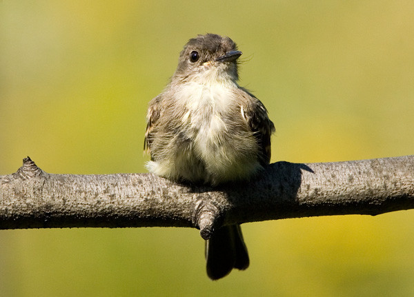 """<div class=""""jaDesc""""> <h4> Phoebe After Bath - September 19, 2006 </h4> <p> A pair of Phoebes showed up a few days ago after not being around since April.  This one was drying off after a cooling bath on a hot day.</p> </div>"""