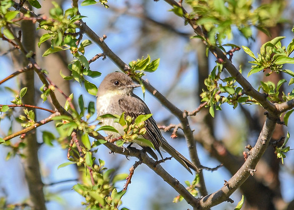 """<div class=""""jaDesc""""> <h4>Phoebe in Crabapple Tree - April 23, 2017</h4> <p>While I was standing on my back porch, this female Phoebe flew right past me and landed in our crabapple tree.  Turns out she has started building a nest on top of one of our porch flood lights.  I rotated it one turn so it will not come on and heat up.</p> </div>"""