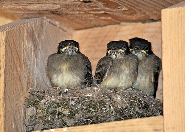 "<div class=""jaDesc""> <h4> 3 Phoebe Chicks Almost Ready - July 5, 2010 </h4> <p> An hour after I took this photo, the 3 Phoebe chicks that were still in the nest had left. 5 chicks were flying around our garage with the frantic parents trying to encourage some sense of order.  This was the second brood of 5 this year.</p> </div>"
