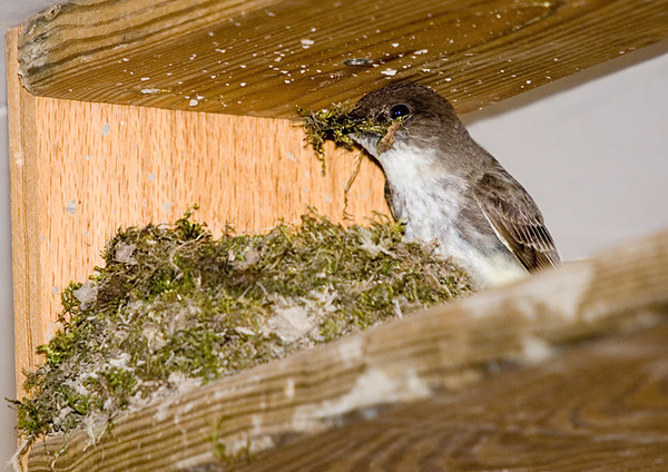"""<div class=""""jaDesc""""> <h4>Phoebe Building Nest - April 23, 2008</h4> <p> This a shot on day 3 of nest building for the Phoebes, it is almost done.  The base is made of grass dipped in mud for stability.  The upper layers are chunks of moss meticulously placed in a perfect circle.  This is the 4th year in a row that they have chosen to nest in our garage.</p> </div>"""