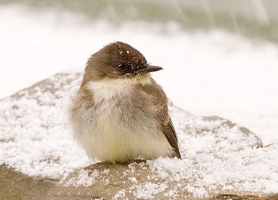 """<div class=""""jaDesc""""> <h4>Phoebe Surviving the Chill - April 7, 2007 </h4> <p>This Phoebe certainly was not expecting snow on April 7th.  Neither were we.</p> </div>"""