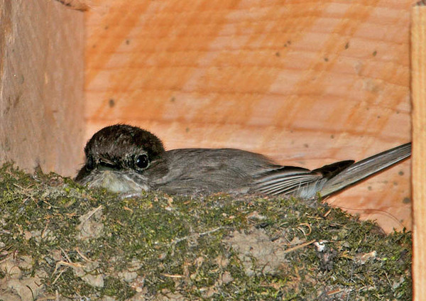 """<div class=""""jaDesc""""> <h4>Female Phoebe Sitting on Eggs - April 30, 2010 </h4> <p>The female Phoebe is sitting on 5 white eggs in the nestbox I built for her in our garage.  She watched me from the nest as I cleaned out our garage today.  The male would fly in about once every hour to check in with her.  This is the 6th year in a row that they have nested in our garage.</p> </div>"""