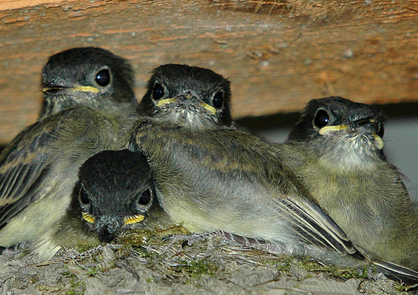 """<div class=""""jaDesc""""> <h4>Phoebe Chicks Ready to Leave Nest - June 2006 </h4> <p>These Phoebe chicks are really over-flowing the nest on a platform in our garage.  When I went out an hour later to get a few more photos, the nest was empty.  </p> </div>"""
