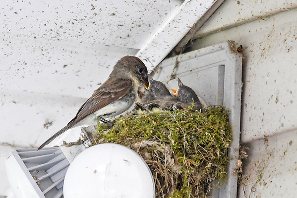 """<div class=""""jaDesc""""> <h4>Mother Phoebe Feeding a Chick - June 7, 2017</h4> <p>Mother Phoebe sticks her beak down the chicks throat to deliver a bug meal.</p> </div>"""