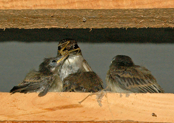 """<div class=""""jaDesc""""> <h4>Grasshoppers for Lunch - July 2006 </h4> <p> I was amazed at the size of the grasshoppers the adult Phoebes stuff into those little beaks.  It is probably why the chicks grow so fast. </p> </div>"""