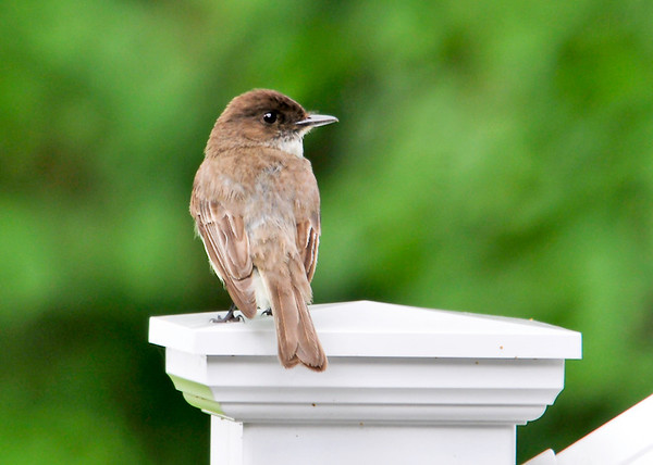 """<div class=""""jaDesc""""> <h4>Phoebe on Porch Rail - June 10, 2014</h4> <p> This is one of the adult Phoebes scanning for bugs to feed her chicks in a nest in the porch rafters.  Both parents are catching bugs every 10 minutes to feed the voracious chicks.</p> </div>"""