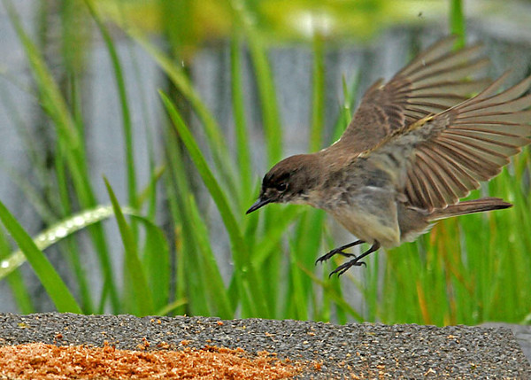"""<div class=""""jaDesc""""> <h4>Dad Phoebe Collecting Mealworms - May 18, 2010 </h4> <p>The Phoebe chicks have hatched and are continually hungry.  Here is a shot of dad Phoebe collecting mealworms to feed the five chicks. I normally put out mealworms for the Bluebirds and call to them when I do.  Recently the Phoebes have been showing up first when I call.  So I started putting some mealworms on a rock for them so they don't have to compete with the Bluebirds.</p> </div>"""