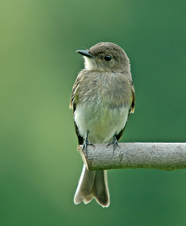 """<div class=""""jaDesc""""> <h4>Young Phoebe on Perch - June 2006 </h4> <p>This is a shot of a young Eastern Phoebe from the first brood just 25 days after leaving the nest.  We rarely see them after they leave the nest.  I discovered that they hang out on our lower pasture fence lines along the woods.  There are lots of bugs down there.</p> </div>"""